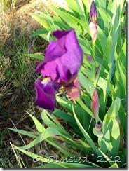 01a Iris in yard Yarnell AZ (768x1024)