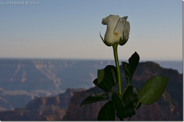 01 White rose to every lady for shake-down dinner NR GRCA NP AZ (1024x678)