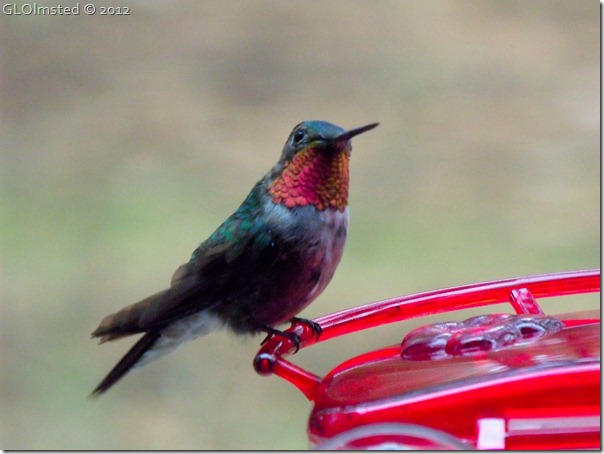03 Male broad-tailed hummingbird NR GRCA NP AZ (1024x768)