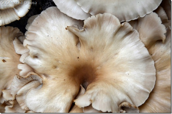 03 Oyster mushrooms NR GRCA NP AZ (1024x678)