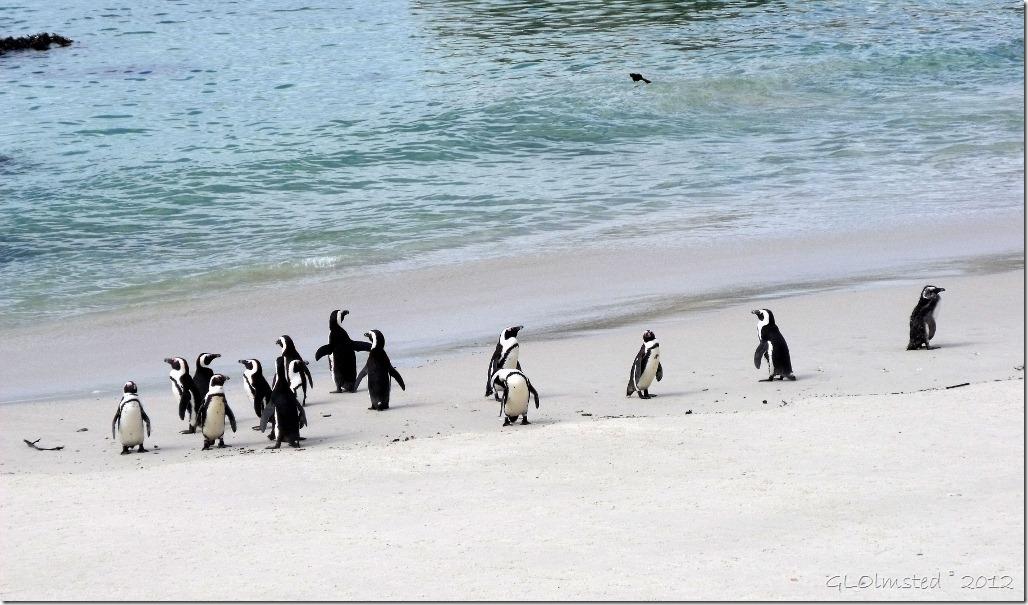 Penguins beach ocean Boulders Table Mountain National Park Simon's Town Cape Peninsula South Africa