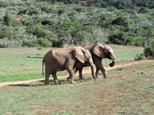 Elephants Addo Elephant NP Eastern Cape South Africa