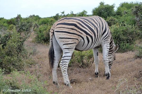 Burchell's Zebra Addo Elephant NP SA