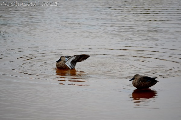 Cape Shovelers from Abrahamskraal birdhide West Coast NP SA