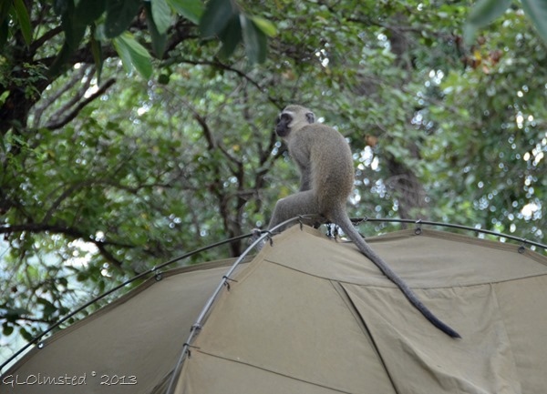 Vervet monkey on tent Berg-en-Dal camp Kruger NP SA