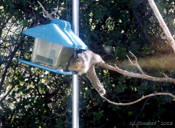 Squirrel on bird feeder Yarnell AZ