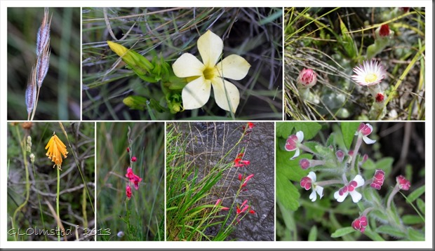 Wildflowers at Golden Gate Highlands National Park South Africa