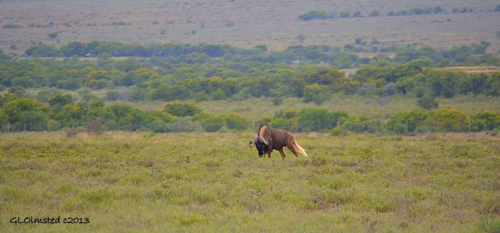 Black Wildebeest Camdeboo National Park Eastern Cape Graaff-Reinet South Africa