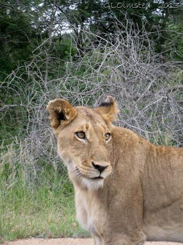Lioness Kruger Natinal Park Mpumalanga South Africa