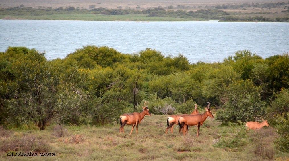 Blissbok at Sunset Camdeboo National Park Eastern Cape Graaff-Reinet South Africa