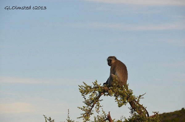 Vervet Monkey Camdeboo National Park Eastern Cape Graaff-Reinet South Africa
