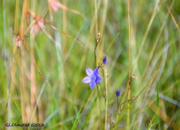 Unidentified blue flower along Echo Ravine trail Golden Gate Highlands National Park South Africa