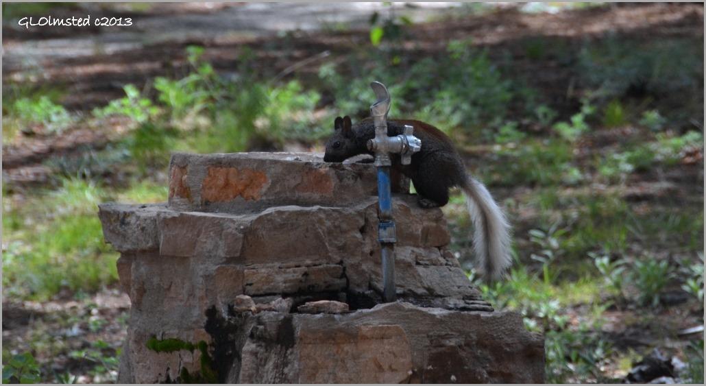 Kaibab squirrel at fountain North Rim Grand Canyon National Park Arizona