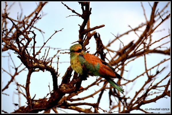 European Roller Kruger National Park South Africa