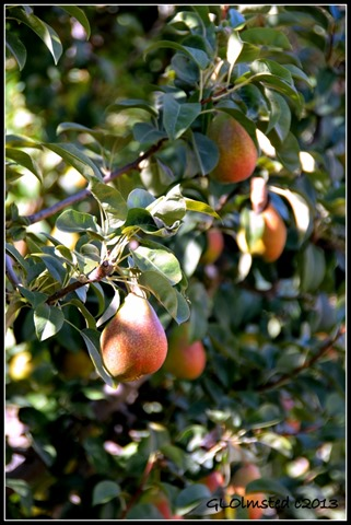 Pears at Rodene Farm Ceres South Africa