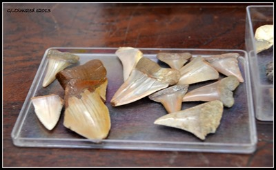 Fossilized shark teeth in lab Fossil Park Langebaan South Africa