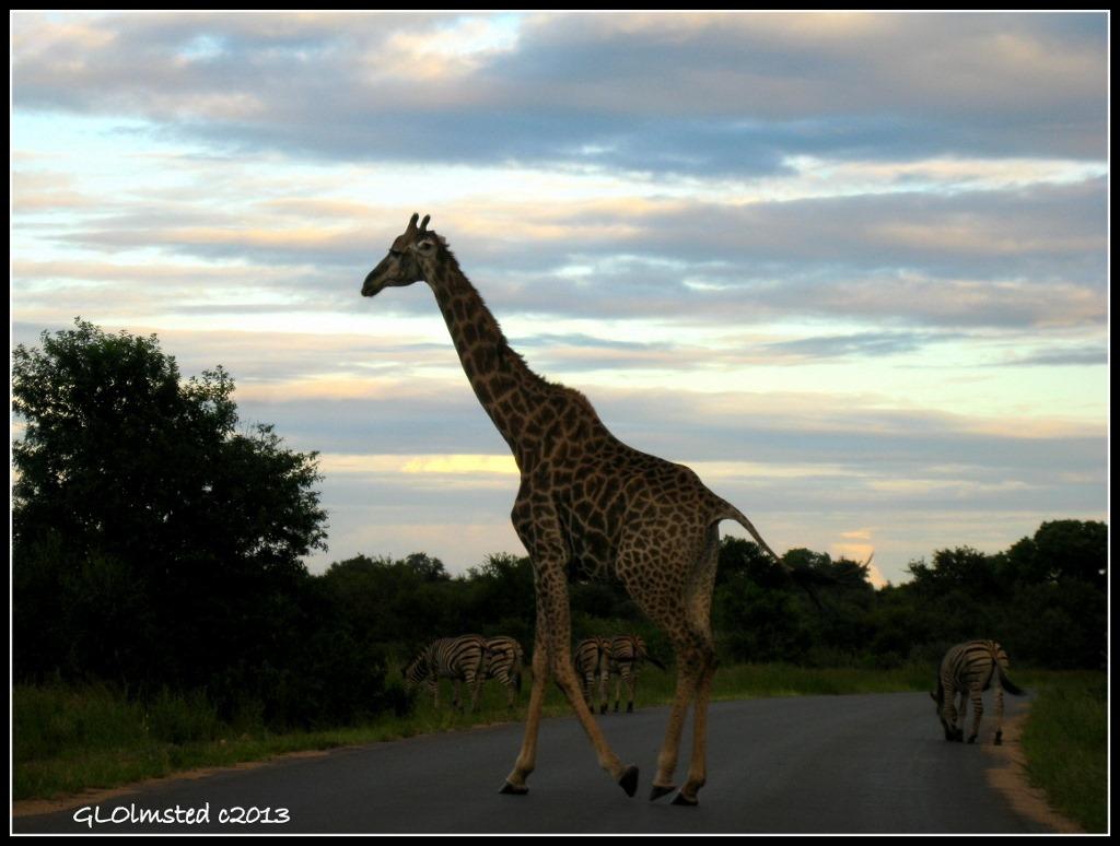 Giraffe & Zebras sunset Kruger National Park Mpumalanga South Africa