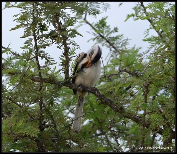 Red-billed Hornbill Kruger National Park South Africa
