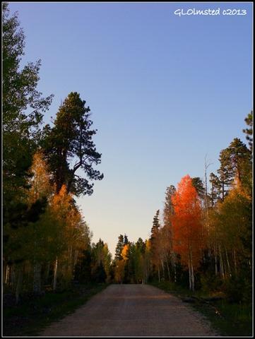 Fall aspen along FR610 Kaibab National Forest Arizona