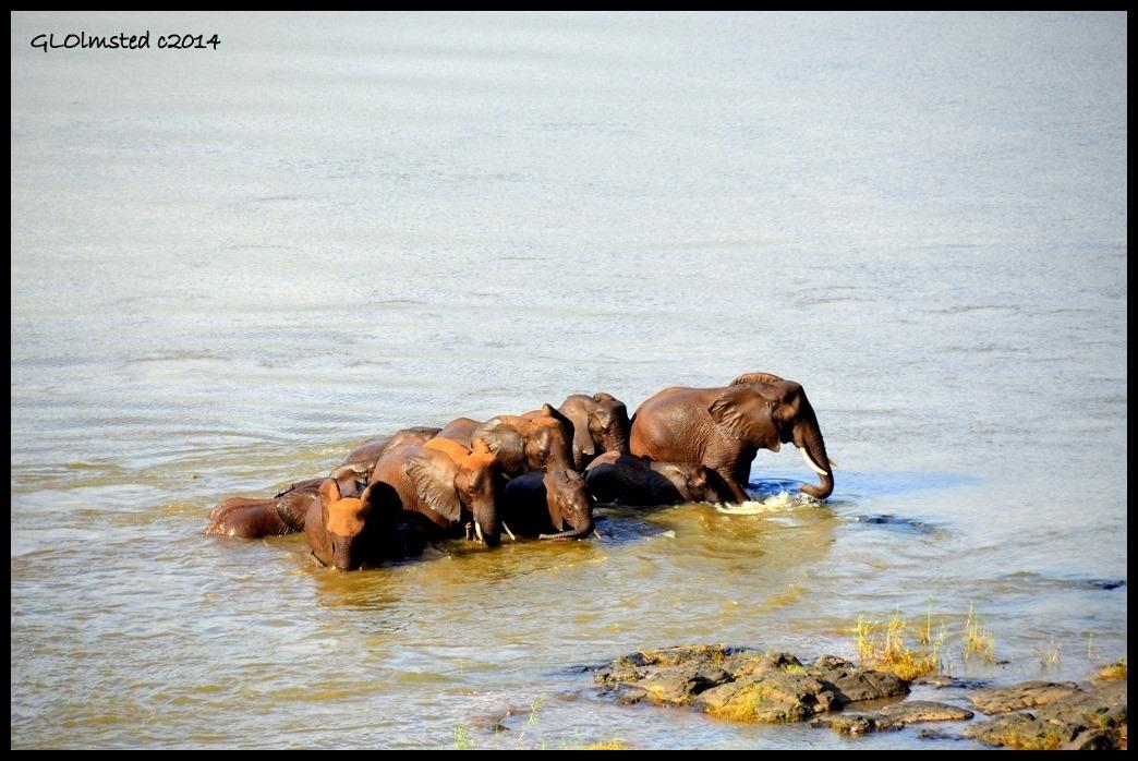 Elephants crossing the Oliphants River Kruger National Park South Africa
