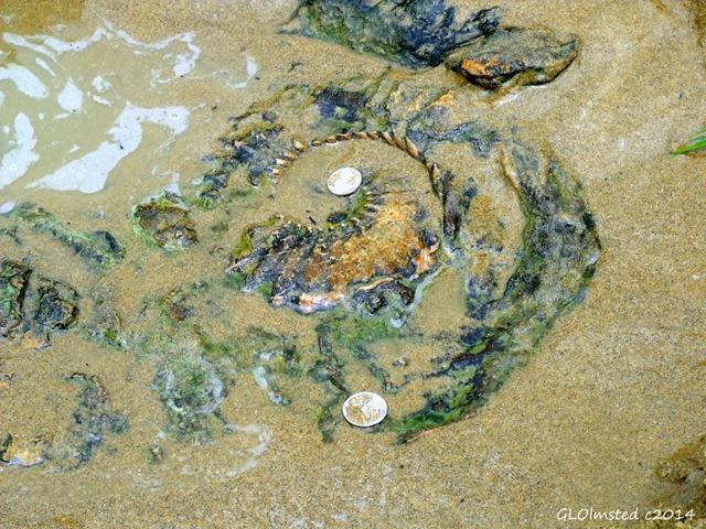Ammonite fossil Mzamba Fossil site Wild Coast Sun Port Edward South Africa