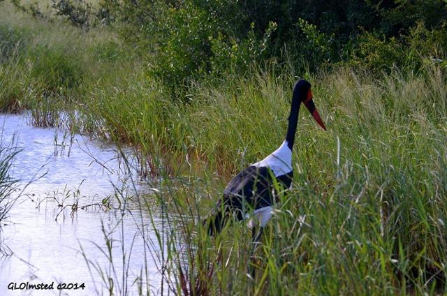 Saddle-bill stork Kruger National Park South Africa