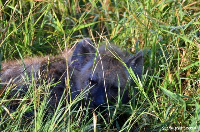 Hyena pup sleeping Kruger National Park South Africa