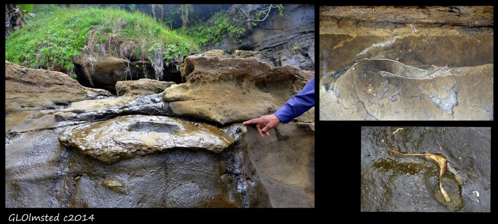 Giant clam shell Mzamba Fossil site Wild Coast Sun Port Edward South Africa