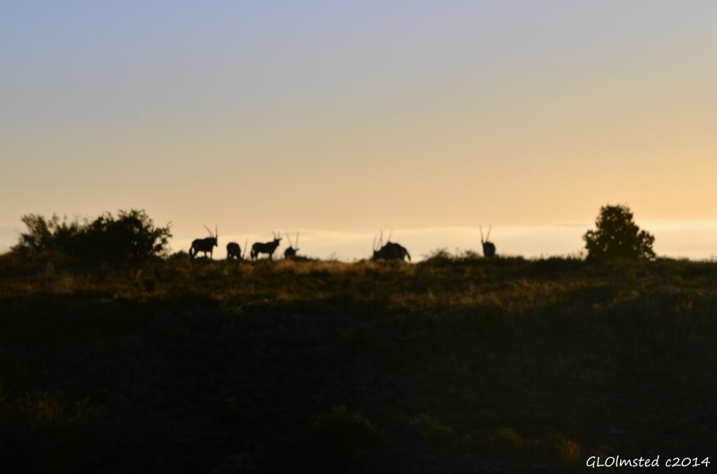 Gemsbok on the morning horizon Karoo National Park South Africa