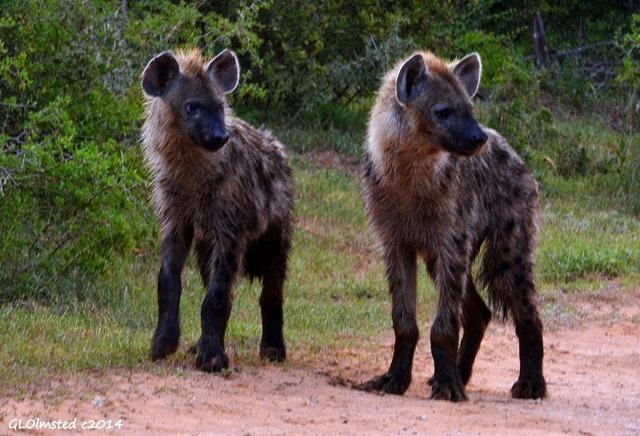 Hyena pups Addo Elephant National Park South Africa