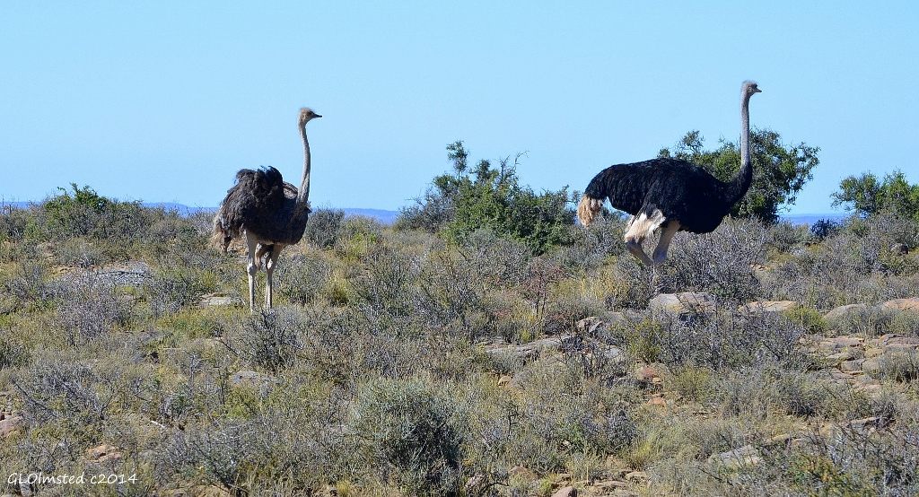 Ostriches Karoo National Park South Africa