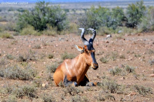 Red Hartebeest Karoo National Park South Africa
