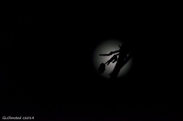 Full moon behind branch Yarnell Arizona