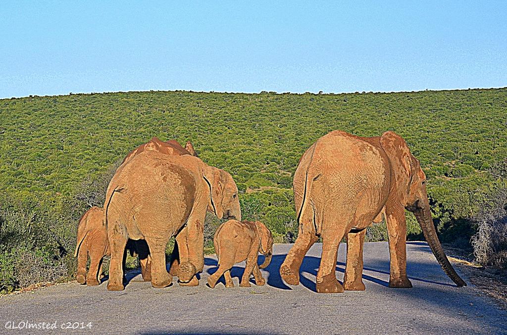 Elephants on the road Addo Elephant National Park South Africa