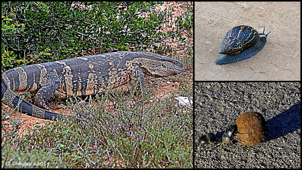 Rock monitor, Zebra agate snail & dung beetles Addo Elephant National Park South Africa