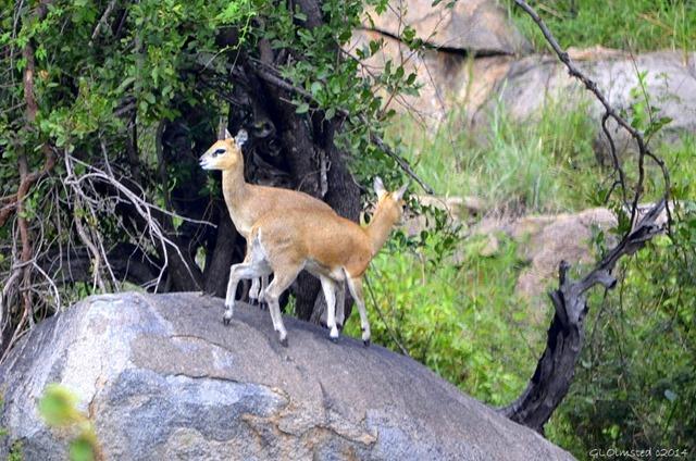 Klipspringers Kruger National Park South Africa