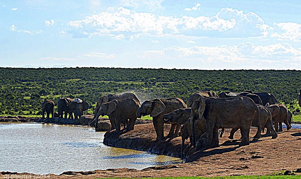 Elephants at the dam Addo Elephant National Park South Africa