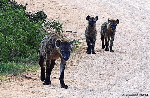 Hyenas Addo Elephant National Park South Africa