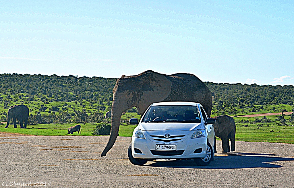 Elephants walk past car Addo Elephant National Park South Africa