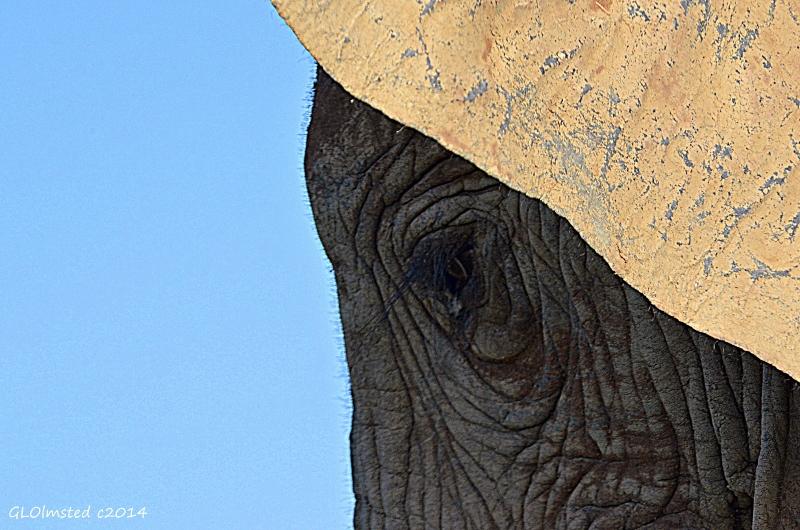 Elephant eye & ear Addo Elephant National Park South Africa
