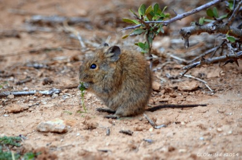 Striped mouse Addo Elephant National Park South Africa