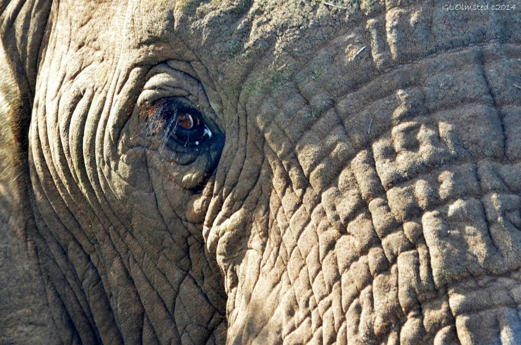 Elephant eye Addo Elephant National Park South Africa