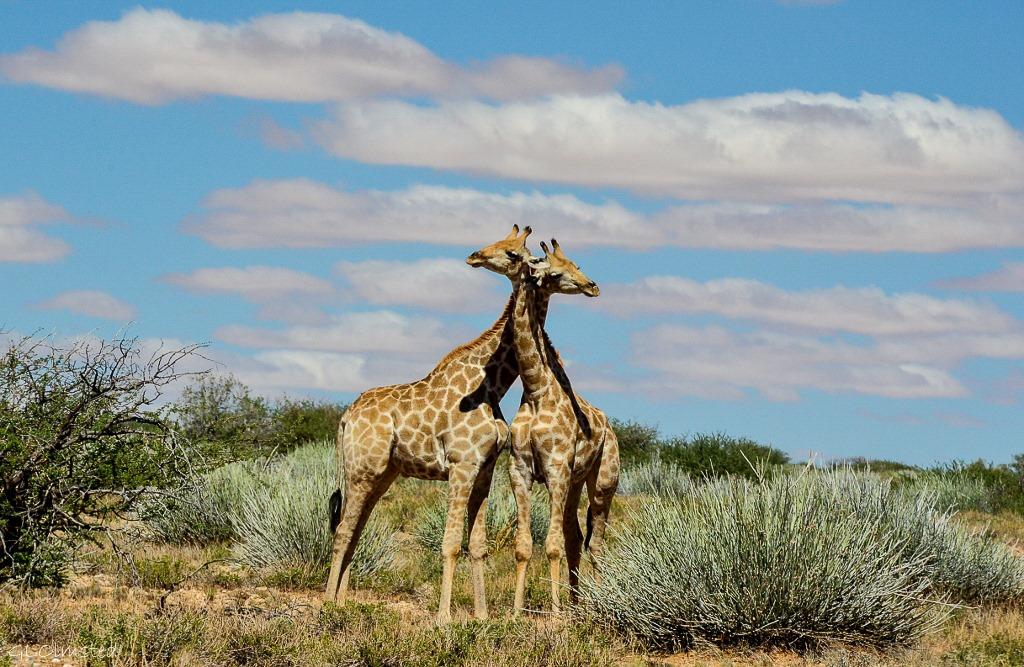 Giraffes necking Augrabies Falls National Park South Africa