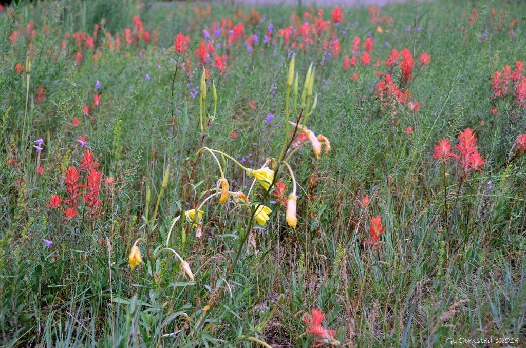 Wildflowers Walhalla Plateau North Rim Grand Canyon National Park Arizona