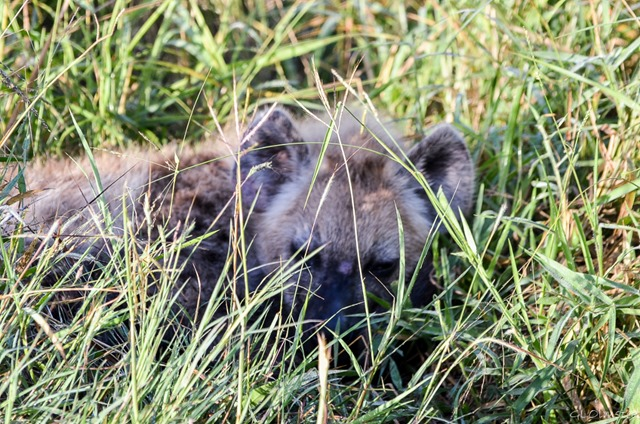 Hyena pup napping in grass Kruger National Park South Africa