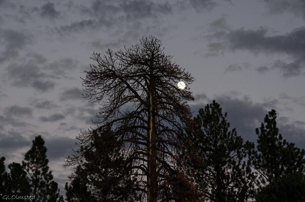 Almost full moon behind the pines North Rim Grand Canyon National Park Arizona