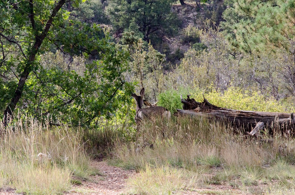 Deer along Rainbow Rim trail to Parissawampitts Point Kaibab National Forest Arizona