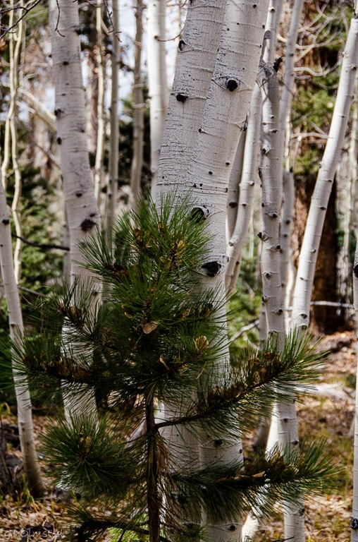 Aspen leaves in pine Kaibab National Forest Arizona