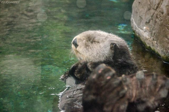 Sleepy Sea Otter Oregon Coast Aquarium Newport Oregon