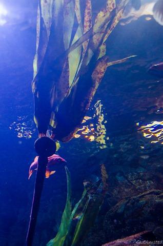 Kelp Orford Reef Passages of the Deep Oregon Coast Aquarium Newport Oregon